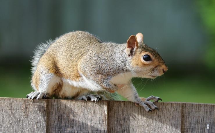 squirrel-1401509_1920